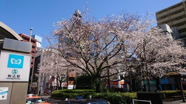 駒込駅前染井吉野桜
